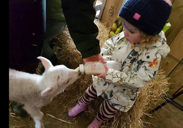 Child Bottle Feeding Lamb
