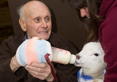 Elderly man feeding lamb