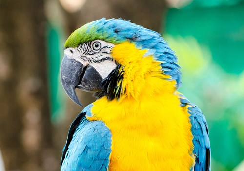 Blue and Gold Macaw